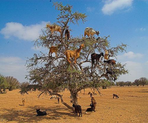 Chèvres dans une Arganier