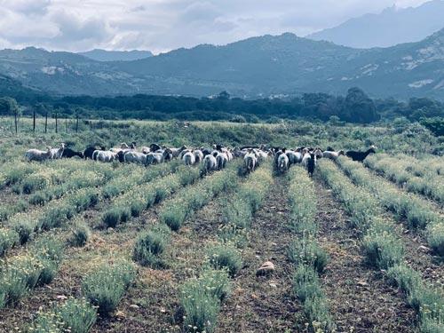 champ d'Hélichryse italienne de Corse