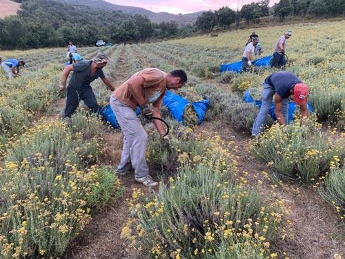 récolte traditionnelle de l'Helichryse italienne